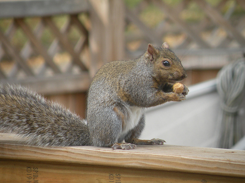 The first squirrel eats a nut.